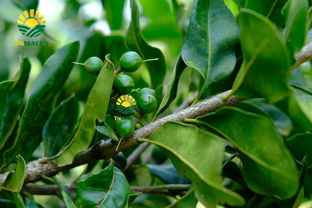 Hạt macca đaklak  : 5 sản phẩm hot được chế biến từ hạt macca Đaklak