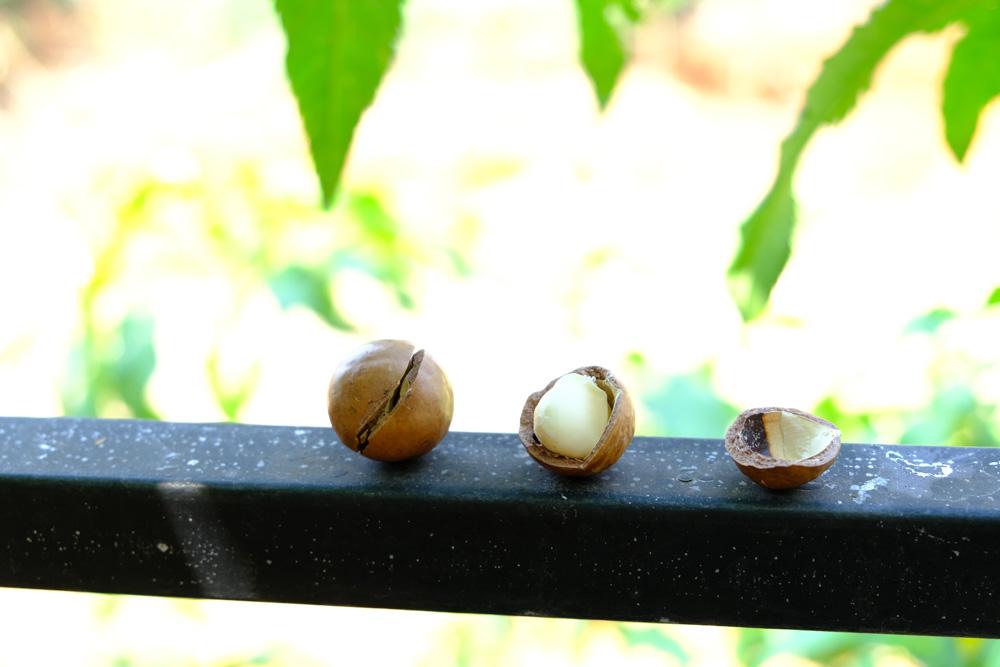 cách chế biến hạt mắc ca tươi : 6 lưu ý chế biến để hạt ngon nhất