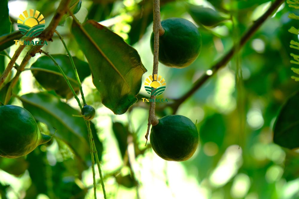 Cách trồng cây mắc ca đạt năng suất cao