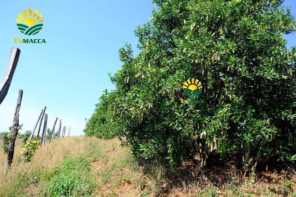 Công dụng của hạt macadamia cho sức khỏe mọi lứa tuổi