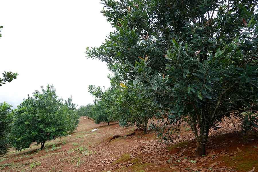 Điều kiện khí hậu để trồng cây mắc ca tại việt nam