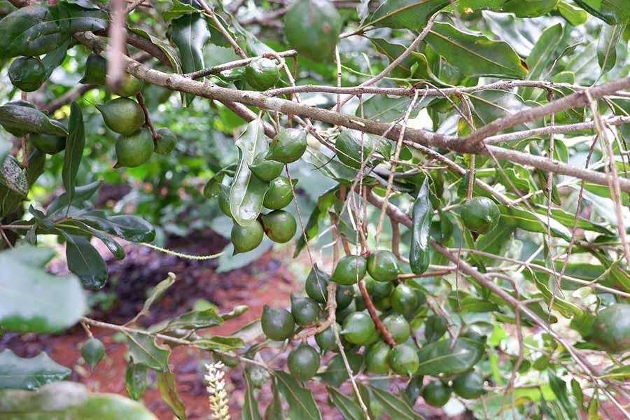 Hạt Macca tách vỏ bằng cách gì với người trồng cây macca