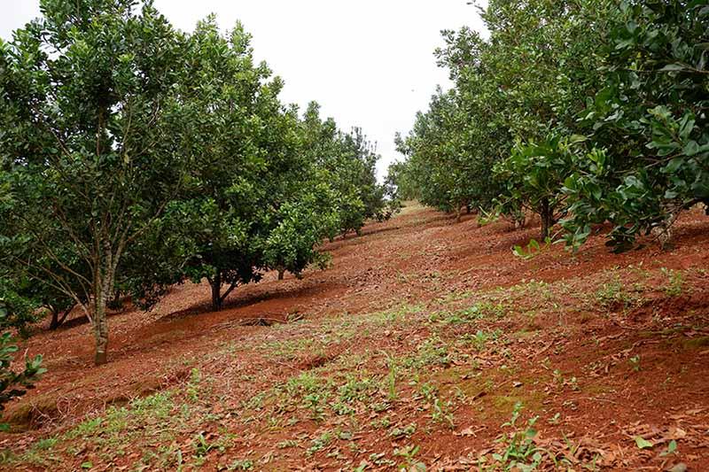Hạt Macadamia có tác dụng gì cho sức khỏe mỗi chúng ta