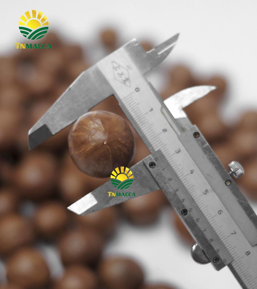 Macca Sấy Chưa nứt size 22-25 mm Nguyên Thùng Sỉ 10 Kg